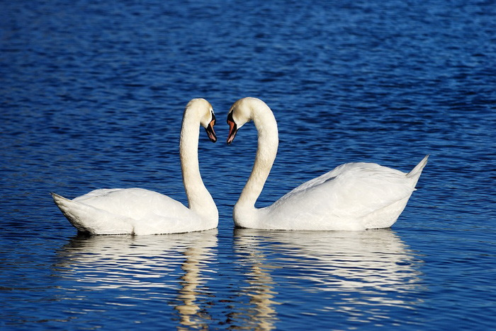 Swan Meaning And Symbolism Religious Talks